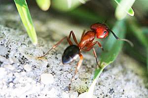 Fumigar hormigas urbeco for Hormigas en el jardin